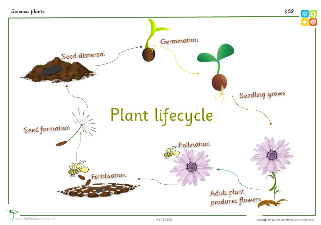 lifecycle of a plant ks2 apple for the teacher ltd. Black Bedroom Furniture Sets. Home Design Ideas