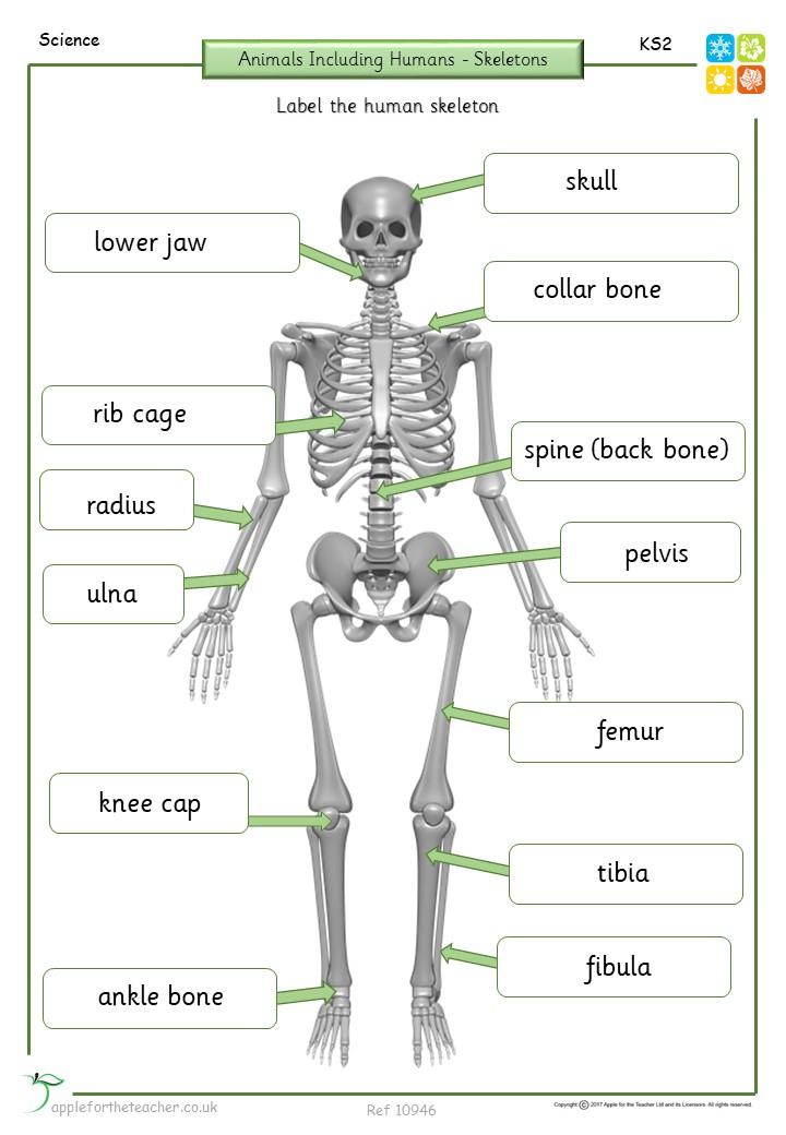 bat skeleton diagram labels wiring schematic diagramskeleton diagram label wiring diagram all data labeled bat body part skeleton labelling important bones activity