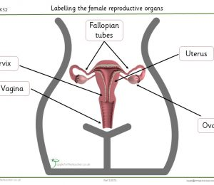 Female Reproductive Organs Labelling Puberty