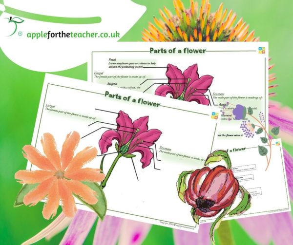 parts of a flower KS2